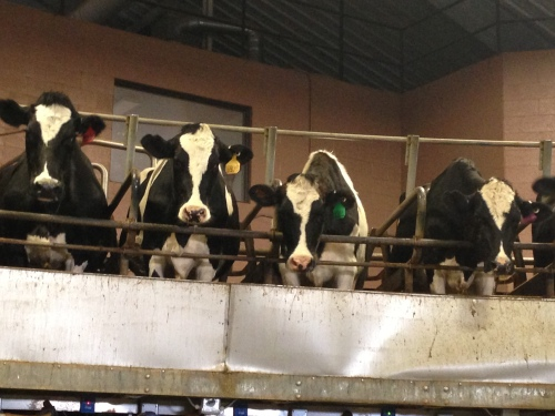 Look closely to see slightly longer hair on these dairy cattle at Barex Dairy in central, UT