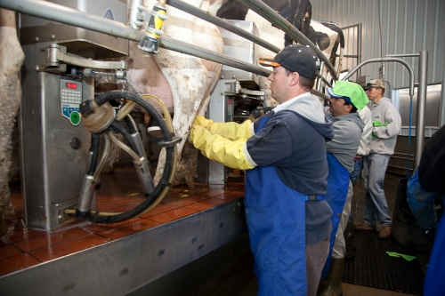 Attaching Milking Machines on Rotary Milker
