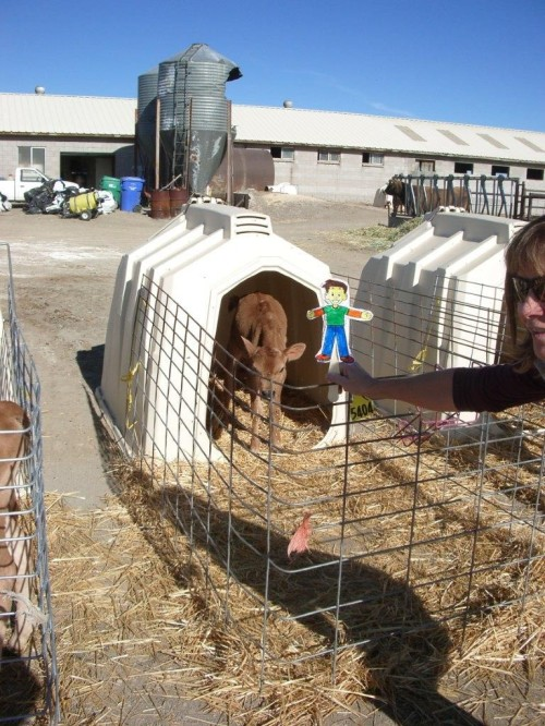Flat Stanley learns about dairy calves