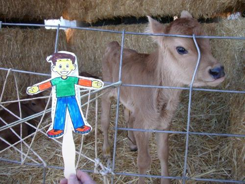 Flat Stanley Meets a Young Calf
