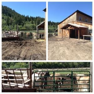 Cold Creek Farm Cows