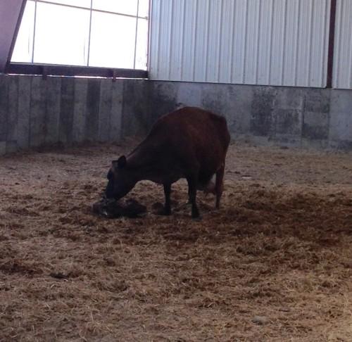 just born calf