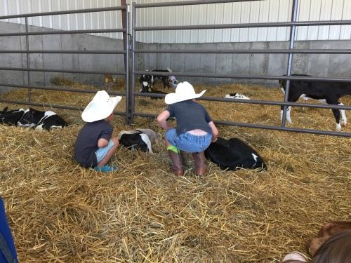 Dairy days farm tour - baby calf